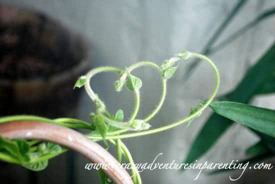heart-shaped plant