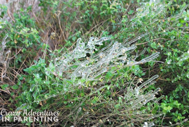 ice on mexican heather